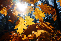 Fall colors (RafalZych) Tags: fall autumn leaf color colour sun against flare fuji x100 classic lens bokeh yellow red leafs tree forest trees