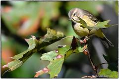 Palm Warbler (RKop) Tags: highlandcemetery fortmitchel kentucky raphaelkopanphotography d500 600mmf4evr 14xtciii nikon
