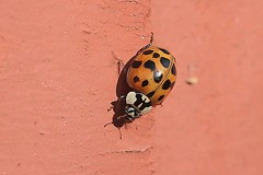Asian Lady Beetle On Part Of Front Step Railing Post 001 - Harmonia Axyridis (Chrisser) Tags: insects insect beetles beetle asianladybeetles asianladybeetle harmoniaaxyridis nature ontario canada canoneosrebelt6i canonefs60mmf28macrousmprimelens coccinellidae lens00025 digital