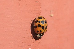 Asian Lady Beetle On Part Of Front Step Railing Post 002 - Harmonia Axyridis (Chrisser) Tags: insects insect beetles beetle asianladybeetles asianladybeetle harmoniaaxyridis nature ontario canada canoneosrebelt6i canonefs60mmf28macrousmprimelens coccinellidae lens00025 digital