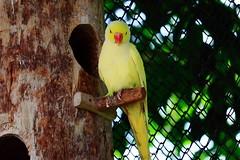 Parakeet (engr.zitu) Tags: parakeet bird bangladesh park safari natural ngc