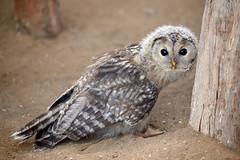 Inquisitive Ural Owlet (Mister Electron) Tags: nikond800 nationalbirdsofpreycentre birdsofprey owls captivity birds ornitohology yorkshire helmsley duncombepark strixuralensis owlet