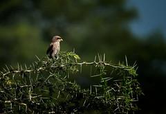Pygmy falcon (Rod Waddington) Tags: africa african afrique afrika uganda ugandan kidepo national park karamoja pygmy falcon bird endemic species wild wildlife nature safari