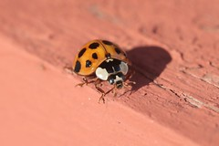 Asian Lady Beetle On Top Of Front Steps 001 - Harmonia Axyridis (Chrisser) Tags: insects insect beetles beetle asianladybeetles asianladybeetle harmoniaaxyridis nature ontario canada canoneosrebelt6i canonefs60mmf28macrousmprimelens coccinellidae lens00025 digital