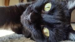 Nova (ashman AZ) Tags: nova kitty novacat cat blackcat housecat catpicture catphoto feline gato