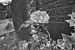 Rose (mark his view) Tags: sony a7r2 a7rii macro laowa camera app