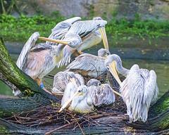A Pod of Pelicans (Harry Rother) Tags: bird birds pelican pelicans pinkbacked pinkbackedpelicans disney florida africa kilimanjaro safari