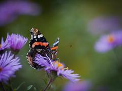 Happy Sunday! (ursulamller900) Tags: helios442 aster admiral butterfly schmetterling autumn herbst vanessaatalanta purple bokeh mygarden