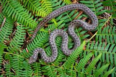 Coronella austriaca (Matthieu Berroneau) Tags: sony alpha macro nature france herpéto wildlife animal animaux reptile reptilia reptilian snake serpent serpente couleuvre culebra serpentes snakes sonya7iii sonya7mk3 sonyalpha7mark3 sonyalpha7iii 90 28 fe f28 g oss fe90f28macrogoss sonyfesonyfe2890macrogoss objectifsony90mmf28macrofe sel90m28g a7iii 7iii 7mk3 sonyilce7m3 coronelle lisse serpiente lisa europea smooth coronella austriaca iparraldeko suge leuna ringelnatter glatteschlange