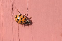 Asian Lady Beetle On Part Of Front Step Railing Post 007 - Harmonia Axyridis (Chrisser) Tags: insects insect beetles beetle asianladybeetles asianladybeetle harmoniaaxyridis nature ontario canada canoneosrebelt6i canonefs60mmf28macrousmprimelens coccinellidae lens00025 digital