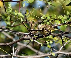 Western Palm Warbler_6096_00001-001 (Henryr10) Tags: eastforklake eastforkstatepark bethelohio littlemiamiriverbasin usa southbeach palmwarbler songbird warbler setophagapalmarum setophaga avian bird vogel ibon oiseau pasare fågel uccello tékklistar palmarum pawa palm