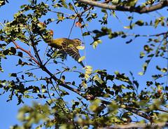 D72_5831_00001-001 (Henryr10) Tags: eastforklake eastforkstatepark bethelohio littlemiamiriverbasin usa southbeach palmwarbler songbird warbler setophagapalmarum setophaga avian bird vogel ibon oiseau pasare fågel uccello tékklistar palmarum pawa palm