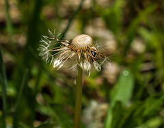 Spent (rlt64) Tags: flowers plants dandelions
