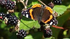 Red Admiral (Nick:Wood) Tags: redadmiral vanessaatalanta cuttlepoolnaturereserve warwickshirewildlifetrust templebalsall blackberry butterfly wildlife