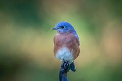 130A1608 (Ricky Floyd) Tags: bluebird canon sigma