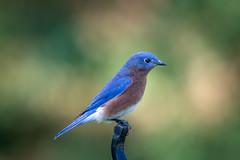 130A1592 (Ricky Floyd) Tags: bluebird canon sigma