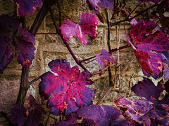 Autumn Grape Leaves (Colormaniac too - Many thanks for your visits!) Tags: autumn october colorful grapeleaves autumnleaves nature digitalpainting topazstudio netartll hss