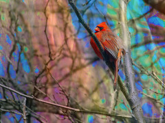 Paint by Nature (kfocean01) Tags: motionblur blur red bird birds nature trees painting paint abstract colors filter photoshop impression