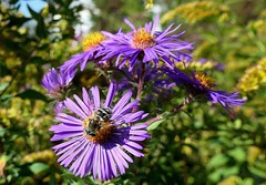 Asters with a visitor (shelly.morgan50 (mostly off)) Tags: dronefly fly insect hoverfly nature flowerphotography usa garden midwest colorful bright aster bokeh closeup macro asters purple goldenrod sunny sunshine light shellymorgan50 panasoniclumixdczs200 flowers