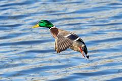 Mallard 绿头鸭 (Boxun Zhang) Tags: bird mallard duck wildlife nature sonyalpha finland helsinki 动物 绿头鸭 自然