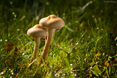 mushrooms (Neil Adams Photography (Wirral)) Tags: mushrooms fungus backlit backlighting