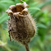 Bladder Campion seed pod - Gousse de silène