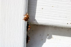 Three Asian Lady Beetles On J-Channel Of Garage - Harmonia Axyridis (Chrisser) Tags: insects beetles asianladybeetles harmoniaaxyridis nature ontario canada canoneosrebelt6i canonefs60mmf28macrousmprimelens coccinellidae lens00025 digital