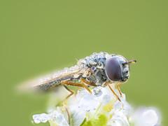 2019-10-13 16-16-20 (A,Radius8,Smoothing4) (turbok) Tags: insekten wildtiere fliegen wasser stimmungen tieremitwassertropfen