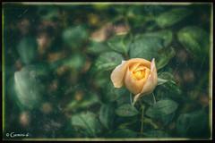 End of Season (* Gemini-6 * (on&off)) Tags: flower green nature rose yellow vintage garden framed grunge hdr leaf petal bloom hss
