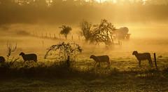 counting sheep (Der Hamlet) Tags: ruhrwiesen nebel schafe weide stacheldraht zaun frühnebel sonnenaufgang ruhrgebiet sonnenstrahlen feld dunst lämmer