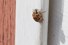 Asian Lady Beetle On J-Channel Of Garage 002 - Harmonia Axyridis (Chrisser) Tags: insects beetles ontario canada nature digital coccinellidae harmoniaaxyridis lens00025 asianladybeetles canonefs60mmf28macrousmprimelens canoneosrebelt6i insect beetle asianladybeetle