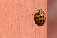 Asian Lady Beetle On Part Of Front Step Railing Post 005 - Harmonia Axyridis (Chrisser) Tags: insects insect beetles beetle asianladybeetles asianladybeetle harmoniaaxyridis nature ontario canada canoneosrebelt6i canonefs60mmf28macrousmprimelens coccinellidae lens00025 digital
