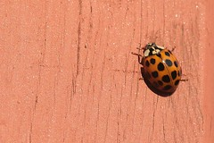Asian Lady Beetle On Part Of Front Step Railing Post 006 - Harmonia Axyridis (Chrisser) Tags: insects insect beetles beetle asianladybeetles asianladybeetle harmoniaaxyridis nature ontario canada canoneosrebelt6i canonefs60mmf28macrousmprimelens coccinellidae lens00025 digital