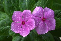 Raindrops (David_CSK) Tags: flowers raindrops raindrop macro