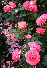 Pink roses at Lady Dixon (BrooksieC) Tags: flowers roses sirthomasandladydixonpark dunmurry belfast ireland country nature beauty northernireland