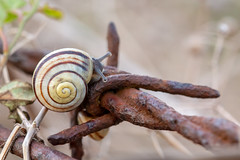 Snail on the wire (christina.marsh25) Tags: snail barbedwire rust fence macro macromondays wire