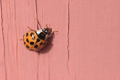 Asian Lady Beetle On Part Of Front Step Railing Post 008 - Harmonia Axyridis (Chrisser) Tags: insects insect beetles beetle asianladybeetles asianladybeetle harmoniaaxyridis nature ontario canada canoneosrebelt6i canonefs60mmf28macrousmprimelens coccinellidae lens00025 digital