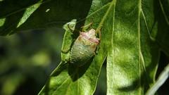 Hawthorn Shieldbug (Nick:Wood) Tags: hawthornshieldbug acanthosomahaemorrhoidale nymph instar elmdonmanornaturereserve warwickshirewildlifetrust solihull insect wildlife