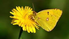 DSC_6972 Souci (sylvette.T) Tags: insecte papillon jaune butterfly 2019 soucipapillon coliascrocea