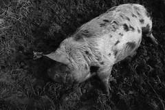 Sleeping pig (timnutt) Tags: wideangle 16mm ultrawide fujifilm animal xt2 mud fujinon pig farmyard farmanimal livestock farm fuji prime park acros 16f28 wide farmpark mono monochrome bw blackandwhite blackwhite