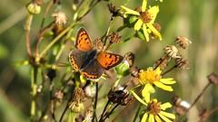Small Copper (Nick:Wood) Tags: smallcopper lycaenaphlaeas cuttlepoolnaturereserve warwickshirewildlifetrust templebalsall butterfly wildlife