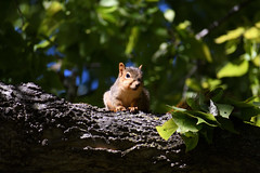 Watchful (Randall R) Tags: squirrel rodent mammal d7500 foxsquirrel