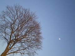 The tree (straume.k) Tags: tree moon simple