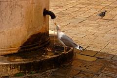Venice Cannaregio / The thirsty gull (Pantchoa) Tags: venise vénétie italie fontaine goéland assoiffé pigeon boire eau oiseau robinet puits