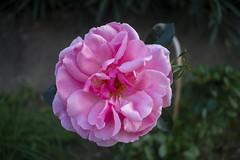 Rose de Llupia (marcobierbar66) Tags: divers rose flower beautifulflower romantique romantic macro