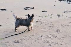 Stanley (JessicaAKA.) Tags: terrier dog dogs sand beach northsea standrews animal sea town scotland scottish