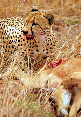 Cheetah Kill (DeniseKImages) Tags: wildlife africa cat cheetah bigcat bigcats cheetahkill grass southafrica nature wild animal animals wildanimals wildanimal bigfive