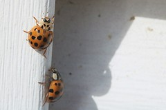 Two Asian Lady Beetles On J-Channel Of Garage 001 - Harmonia Axyridis (Chrisser) Tags: insects beetles asianladybeetles harmoniaaxyridis nature ontario canada canoneosrebelt6i canonefs60mmf28macrousmprimelens coccinellidae lens00025 digital