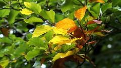 Autumn arrives (Nick:Wood) Tags: leaves autumn beech elmdonmanornaturereserve warwickshirewildlifetrust solihull