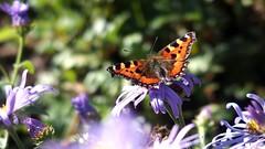 Small Tortoiseshell (Nick:Wood) Tags: smalltortoiseshell aglaisurticae malvernpark solihull butterfly wildlife